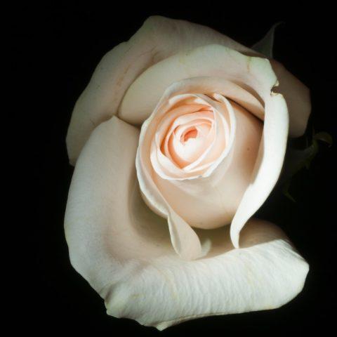 Rosa di sera